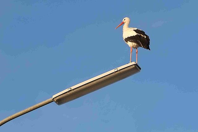 Storch auf Straßenlaterne in Schlich