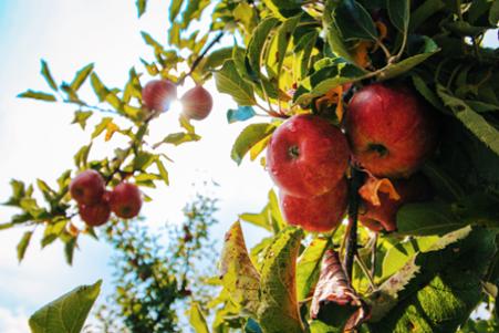 Detailaufnahme Apfelbaumzweig mit roten Äpfeln