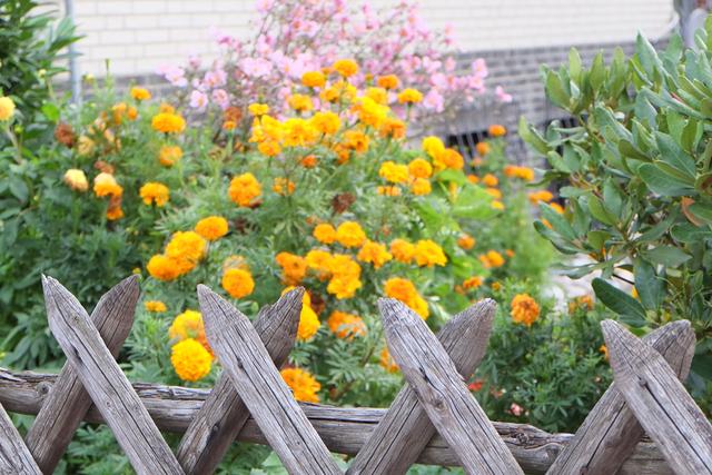 Holzgartenzaun vor gelb blühenden Sträuchern