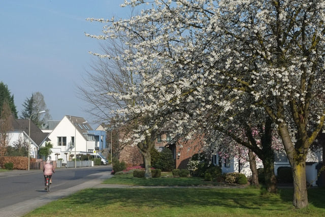 Die Liedberger Straße in Pesch zur Kirschbaumblüte im Frühling