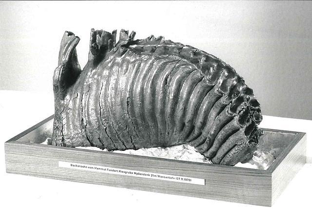 versteinerter Mammutzahn gefunden in Korschenbroich