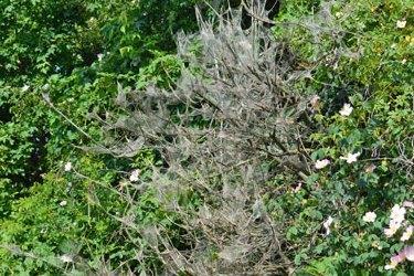 Von der Gespinstmotte befallenes Buschwerk