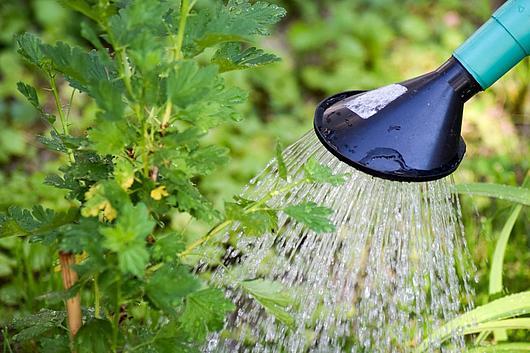 Nahaufnahme: Gießkanne mit Aufsatz gießt mit Wasser eine Stachelbeerenbusch