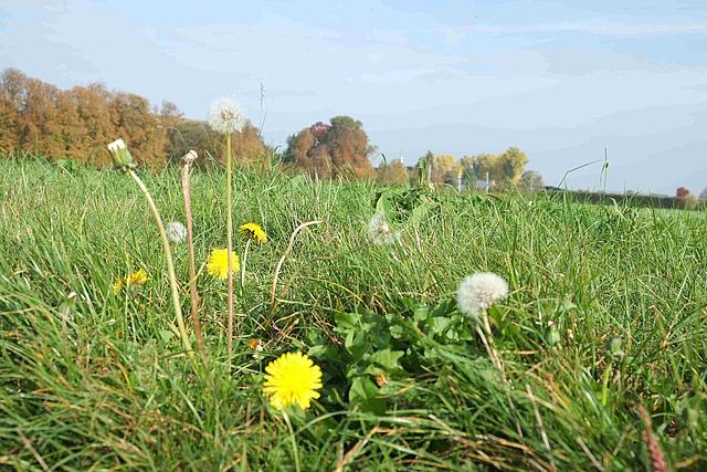 Blühstreifen mit Löwenzahn bei Lüttenglehn