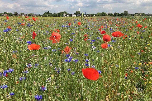 Bunter Blühstreifen mit Klatschmohn, Kornblumen und anderen Gräsern
