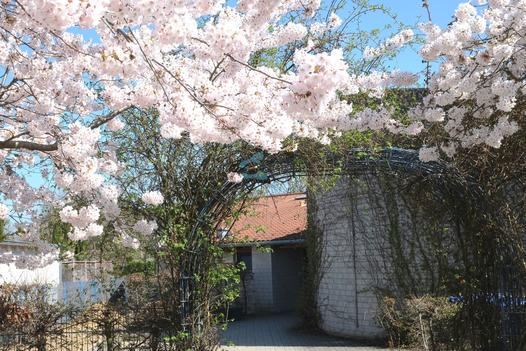 Eingengsbereich der KiTa Schulstraße in Glehn, Kirschbäume blühen